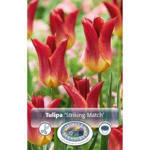 Striking Match Tulip