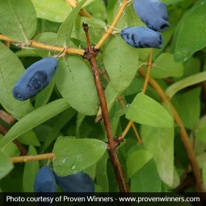 Sugar Mountain® Balalaika Sweetberry Honeysuckle Bush