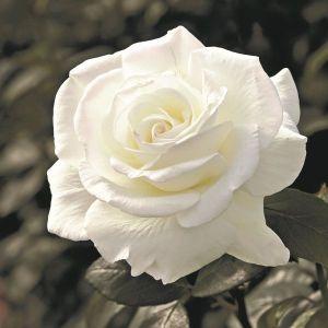 Sugar Moon™ Rose