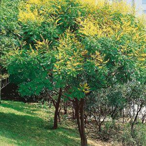 Summerburst® Golden Rain Tree