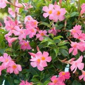 Sun Parasol® Pretty Pretty Pink Mandevilla