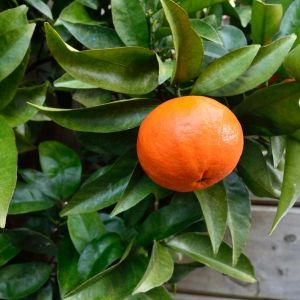 Super Nova Mandarin Tree