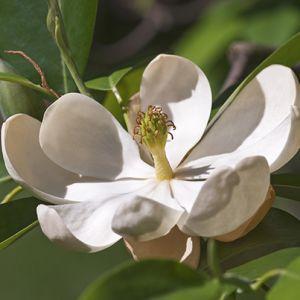 Sweet Bay Magnolia Tree