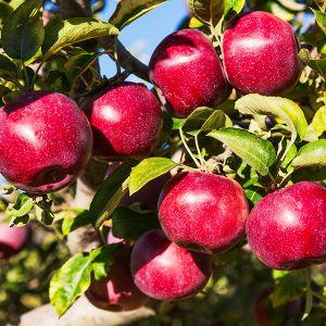 Teeple Red Royal™ Empire Apple Tree