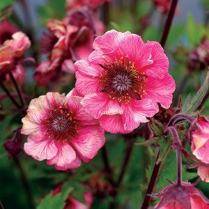 TEMPO™ Rose Geum