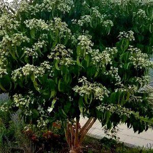 First Editions® Tianshan® Seven-Son Flower