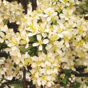 Tina Sargent Crabapple Tree
