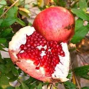 Tom's Red Pomegranate Tree
