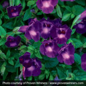 Summer Wave® Large Violet Wishbone Flower