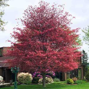 Tricolor European Beech Tree