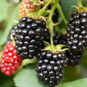 Triple Crown Thornless Blackberry Bush