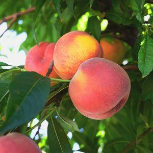 Tropic Beauty Peach Tree