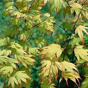 Tsuma Gaki Japanese Maple