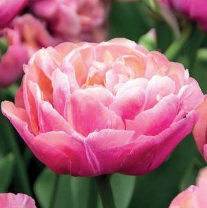 Amazing Grace Tulip