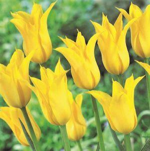 Flashback Tulip
