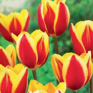 Hot Honey Rag Tulip