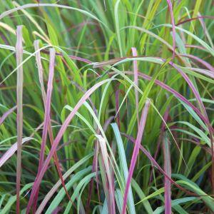 Twilight Zone Little Bluestem Grass