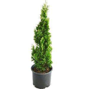 Twisted Brilliance Arborvitae