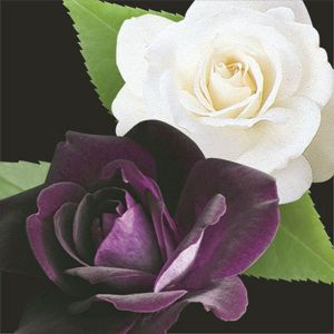 Two-fer® Burgundy Iceberg & Iceberg Rose Tree