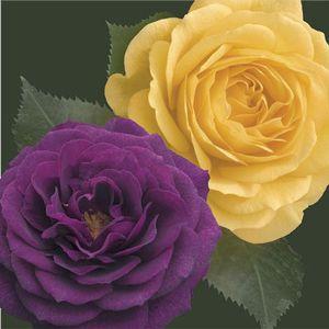 Two-fer® Ebb Tide™ & Julia Child Rose Tree