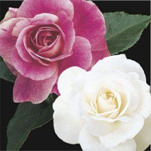 Two-fer® Brilliant Pink Iceberg & Iceberg Rose Tree