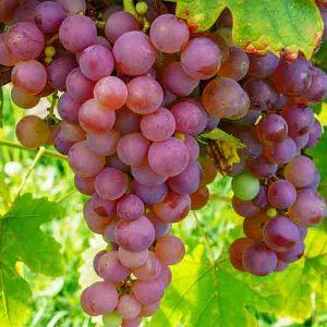 Vanessa Grape Vine