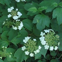 Spring Green Compact Cranberrybush Viburnum