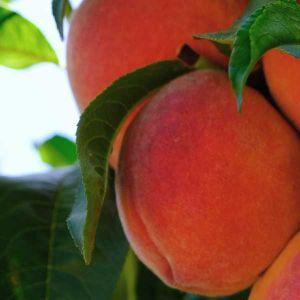 Vivid Peach Tree