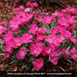 Vivid™ Bright Light Dianthus
