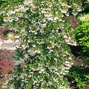 Weeping Japanese Snowbell