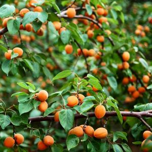 Wenatchee Apricot Tree