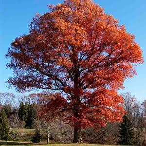 USDA Organic White Oak