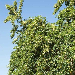 White Shield Osage Orange Tree