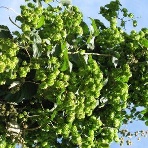 Willamette Hops Plant