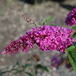 Windy Hill Butterfly Bush