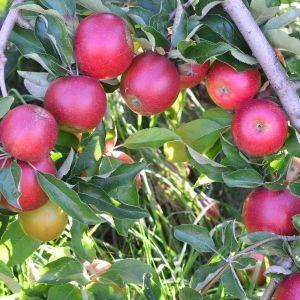 Winecrisp™ Apple Tree