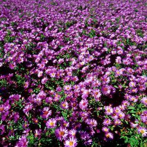 Woods Purple Aster