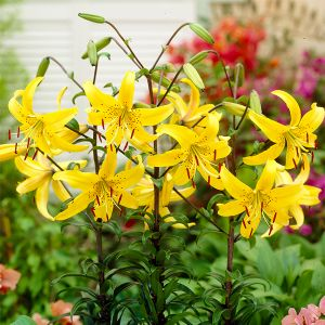 Yellow Star Tiger Lily