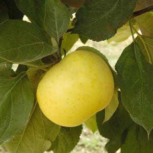 Yellow Transparent Apple Trees