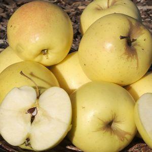 Yellow Delicious Apple Tree