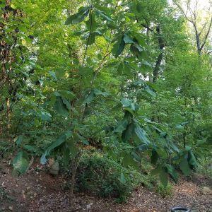 Cucumber Tree Magnolia