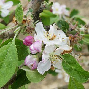 Zestar!® Apple Tree