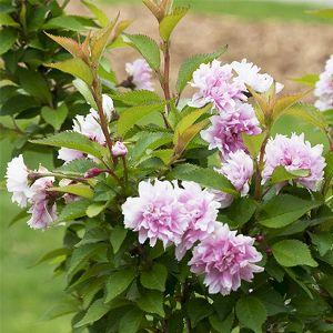 Zuzu® Dwarf Flowering Cherry
