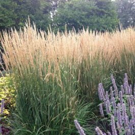 Karl Foerster Feather Reed Grass Buy At Nature Hills Nursery