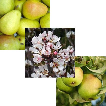 D Anjou Pear Tree