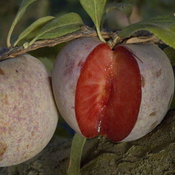 Dapple Dandy Pluot Tree