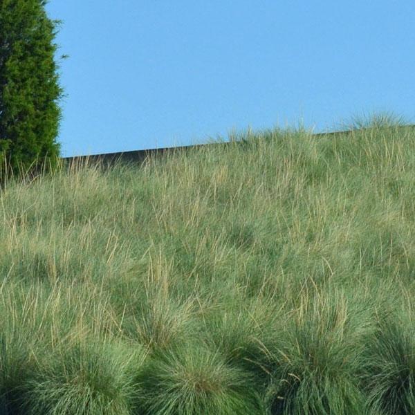 Deer Grass Image