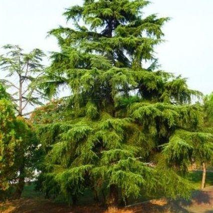 Deodar Cedar Tree