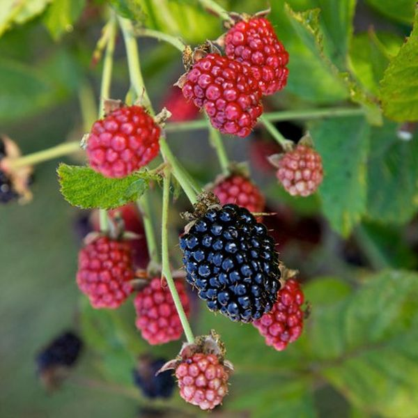 Baby Cakes™ Thornless Blackberry