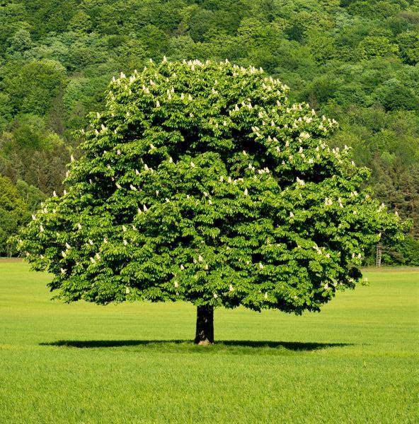 Dunstan Chestnut Trees